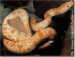 pitone albino